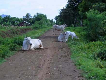 路上で牛がたたずんでいます。なんだか癒されます。