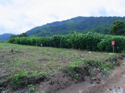 イモ畑。赤い立札はは地雷ありの看板。住民曰く,「地雷はもうない」とのこと。本当に!?