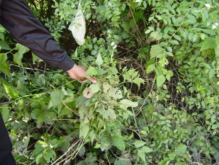 ここに地雷もしくは不発弾があるよ」という目印として束にまとめた草を結んでいます。その上にはナイロン袋が引っ掛けてありますが,これも目印です。