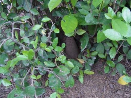 写真中央,木の葉の間から不発弾(瓶のような形)が見えます。場所はコックロロー郡チュナルモアン町ソムラオン村